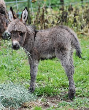 Mini Donkeys For Sale